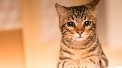Beneficios de la comida húmeda para gatos.
