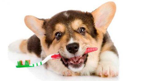 Cómo mantener la higiene bucal de mi perro.