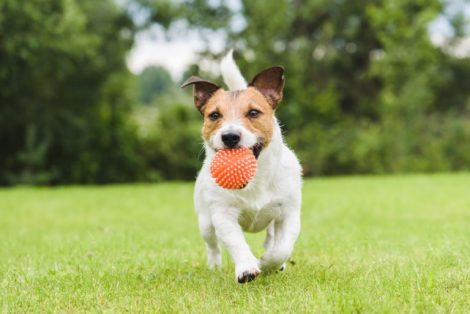 Como elegir el juguete ideal para tu perro.
