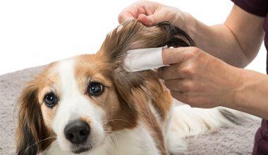 Cómo limpiarle los oídos a mi perro.